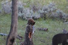 イエローストーン国立公園のブラックベアーの画像085