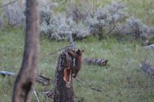 イエローストーン国立公園のブラックベアーの画像086