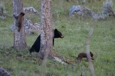 イエローストーン国立公園のブラックベアーの画像088