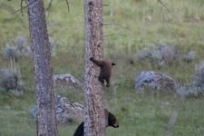 イエローストーン国立公園のブラックベアーの画像090