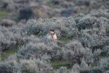 イエローストーン国立公園のプロングホーンの画像001