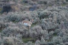 イエローストーン国立公園のプロングホーンの画像002
