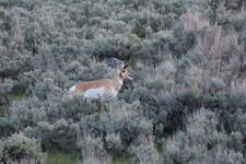 イエローストーン国立公園のプロングホーンの画像005