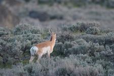 イエローストーン国立公園のプロングホーンの画像006
