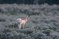 イエローストーン国立公園のプロングホーンの画像008