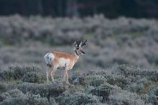 イエローストーン国立公園のプロングホーンの画像009
