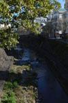 中島川のクスノキの画像001