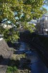 中島川のクスノキの画像002