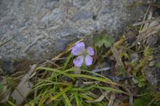 剣山の花の画像002