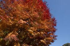 四国の紅葉の画像002