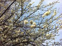 白梅の花の画像002