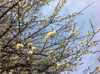 白梅の花の画像033