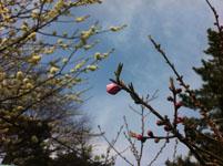 紅梅の花の画像001