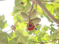 キューバ ハバナの木