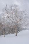 雪原にたたずむ木の画像001