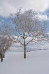 雪原にたたずむ木の画像002