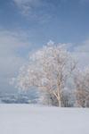 雪原にたたずむ木の画像011