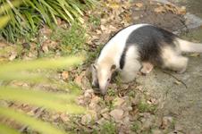 上野動物園のコアリクイの画像001