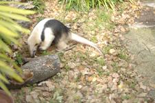 上野動物園のコアリクイの画像003
