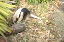 上野動物園のコアリクイの画像004