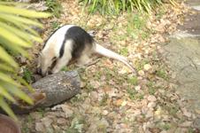 上野動物園のコアリクイの画像005