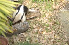 上野動物園のコアリクイの画像006