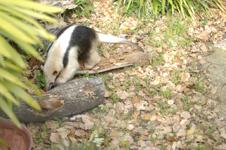 上野動物園のコアリクイの画像008