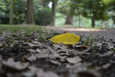 京都御所の落ち葉
