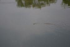 京都府鴨川を泳ぐヘビの画像002