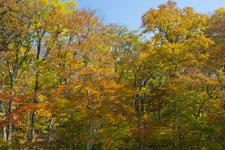 大山の紅葉の画像049