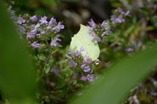 八ヶ岳のヤマキチョウの画像001