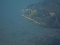 利根大堰のサケの遡上の画像002