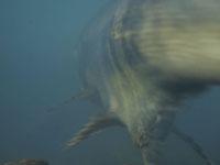 利根大堰のサケの遡上の画像004