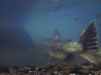 利根大堰のサケの遡上の画像007