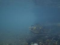 利根大堰のサケの遡上の画像008