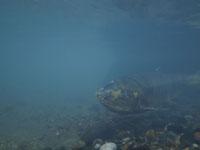 利根大堰のサケの遡上の画像009