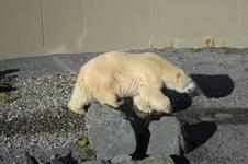 ケベックのシロクマの画像001