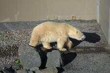 ケベックのシロクマの画像002