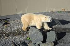 ケベックのシロクマの画像003