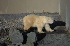 ケベックのシロクマの画像004