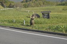 知床半島の鹿の画像001