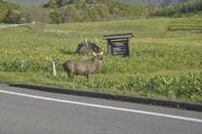 知床半島の鹿の画像002