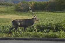 知床半島の鹿の画像003