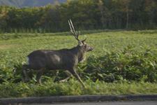 知床半島の鹿の画像004