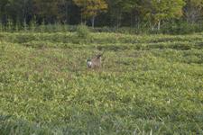 知床半島の鹿の画像005