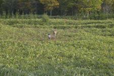 知床半島の鹿の画像006