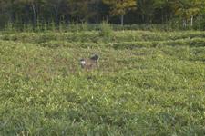 知床半島の鹿の画像007