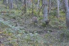 知床半島の鹿の画像008