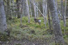 知床半島の鹿の画像009