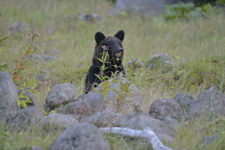 知床半島のヒグマの画像001